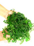 Moringa-Blätter gehöhlt in den Frauenhänden Lizenzfreie Stockfotografie