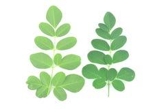 Moringa-Blätter sind grüne Kräuter stockfotografie