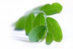 Moringa blad op wit Royalty-vrije Stock Foto's