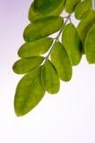 Moringa bladeren op houten raadsachtergrond Stock Afbeelding