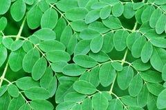 Moringa bladerenachtergrond Royalty-vrije Stock Foto's