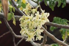 Moringa bloem Royalty-vrije Stock Foto
