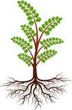 Moringa drzewo ilustracji