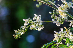 Moringa Flower on tree. Moringa flowers on tree with bokeh background stock photo
