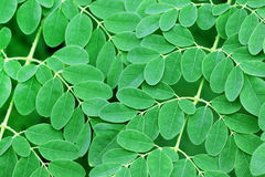 Moringa leaves background Royalty Free Stock Photos
