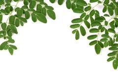 Moringa leaves background. stock photo
