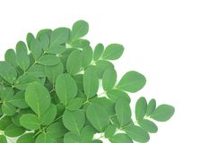 Moringa leaves are green herbs. stock photos