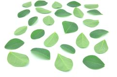Moringa leaves are green herbs. royalty free stock photography