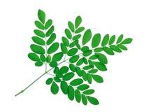 Moringa leaves isolate on white Stock Image