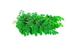 Moringa leaves isolated on white background. royalty free stock photos