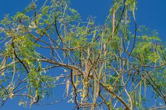 Moringa leaves, Moringa flower on tree and blue sky. Moringa leaves, Moringa flowers on trees and blue skies have medicinal properties stock images