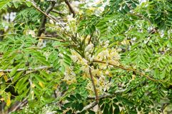 Leaves and flowers of moringa tree Moringa oleifera Lam. Moringaceae. Moringa leaves - Moringa oleifera the most widely cultivated species of the genus Moringa royalty free stock photography