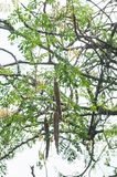Drumstick moringa dry long vegetable fruits hanging from an Indian tree branch. Moringa leaves - Moringa oleifera the most widely cultivated species of the genus royalty free stock image