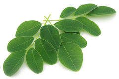 Moringa leaves Stock Images