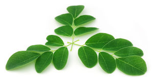 Moringa leaves Royalty Free Stock Photo
