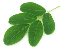 Moringa leaves Royalty Free Stock Images