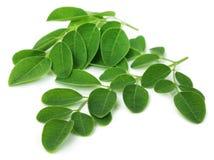 Moringa leaves Stock Photo