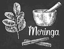 Moringa leaves and pod. Mortar and pestle. Vector vintage engraved illustration. Stock Image