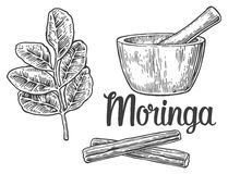 Moringa leaves and pod. Mortar and pestle. Vector vintage engraved illustration. Royalty Free Stock Images