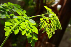 Moringa leaves in sunlight , Royalty Free Stock Photography