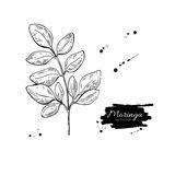 Moringa leaves superfood drawing. Isolated hand drawn il royalty free illustration