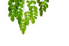 Moringa leaves on white background Stock Photo