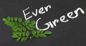 Moringa leaves with written Ever Green Stock Photo
