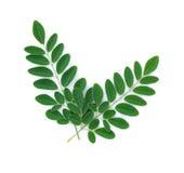 Moringa liście odizolowywają na białym tle Fotografia Stock