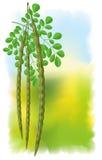 Moringa oleifera. Stock Images