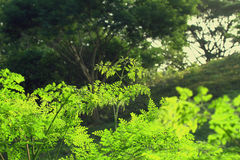 Moringa.oleifera-Bild im Freien Stockbild