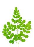Moringa oleifera bladeren op witte achtergrond worden geïsoleerd die Stock Afbeelding