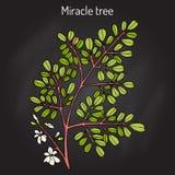 Moringa oleifera d'arbre de miracle, plante médicinale illustration libre de droits
