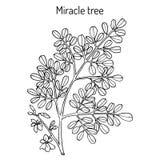Moringa oleifera del árbol del milagro, planta medicinal stock de ilustración