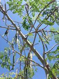 Moringa Oleifera (Drumstick) Tree with Hanging Seedpods Growing in Bright Sunlight. Moringa Oleifera (Drumstick) Tree with Hanging Seedpods Growing in Bright stock images