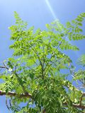 Moringa Oleifera (Drumstick) Tree with Hanging Seedpods Growing in Bright Sunlight. Moringa Oleifera (Drumstick) Tree with Hanging Seedpods Growing in Bright royalty free stock photos