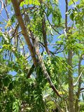 Moringa Oleifera (Drumstick) Tree with Hanging Seedpods Growing in Bright Sunlight. Moringa Oleifera (Drumstick) Tree with Hanging Seedpods Growing in Bright stock photo