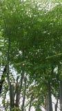 Moringa.oleifera-Flucht stockbild