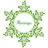 Moringa oleifera, frame 2 in color stock illustration