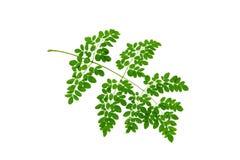 (Moringa oleifera Lam ), bladvorm en textuur royalty-vrije stock afbeelding