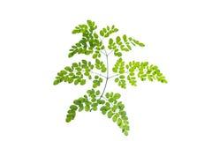 (Moringa oleifera Lam.), leaf form and texture Royalty Free Stock Photo