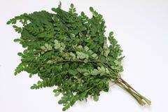 Moringa Oleifera leaf branches Royalty Free Stock Image