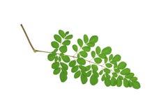 Moringa oleifera liście odizolowywający na białym tle Fotografia Royalty Free