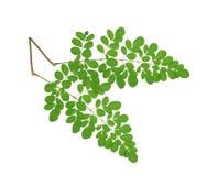 Moringa oleifera liście odizolowywający na białym tle Fotografia Stock