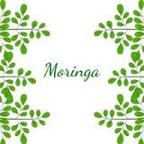 A moringa oleifera, limita 2 na cor ilustração royalty free