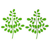 Moringa oleifera na cor Foto de Stock Royalty Free