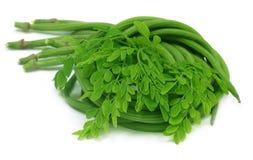 Moringa oleifera o sonjna con las hojas frescas Imagenes de archivo