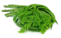 Moringa oleifera ou sonjna com folhas frescas Imagens de Stock
