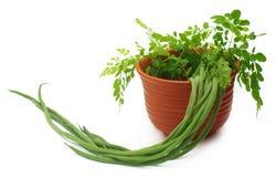 Moringa Oleifera or sonjna with fresh leaves Stock Images