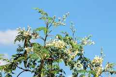 Moringa owoc z kwiatami i owoc Fotografia Stock