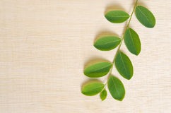 Moringa plant leaf isolated on wooden board background with blan Royalty Free Stock Image